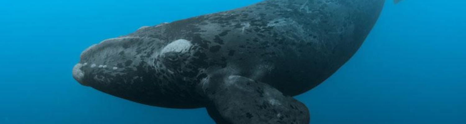 Southern Right Whale - Cape Town