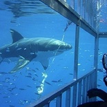 Shark Cage Diving from Simons Town -  for the Brave of heart.